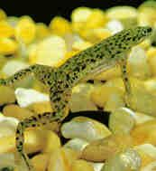 african dwarf frog ( Not to be confused with African clawed frogs which get much larger and eventually would eat your smaller community fish) African Frogs, Dwarf Frogs, Frog Terrarium, Sleep With The Fishes, Pet Frogs, Amazing Frog, Frog Princess, Fish Ponds, Frog And Toad