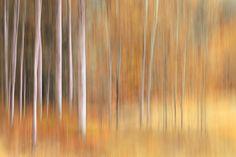 Autumn Birches by Ursula Abresch on 500px