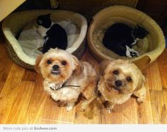 hostile take-over!!!! dogs kicked out of their beds by cats! lol!!!