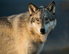 tundra wolf   por Merilee Phillips