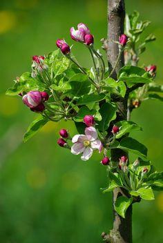 Apfelblüte - photography - nature Ⓒ PASTELPIX
