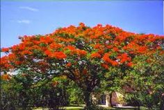 Royal Poinciana or Flamboyant. It is also one of several trees known as Flame tree.: It is noted for its fern-like leaves and flamboyant display of flowers. Delonix Regia, Puerto Rico, Cuba, Florida Plants, Flame Tree, Coconut Grove, Us Virgin Islands, Flowering Trees, Orange Flowers