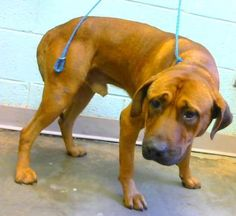 10/2/16 Spade - URGENT - Dekalb County Animal Shelter in Decatur, Georgia - ADOPT OR FOSTER - 4 year old Male Hound Mix