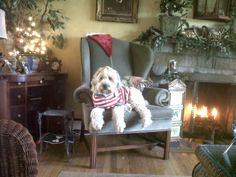 Finley....our wheaten terrier
