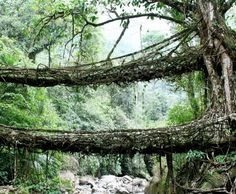 """Living Root Bridges of India In what's a beautiful example of using nature without destroying it, a region in India (one of the wettest in the world) has over hundreds of years """"grown"""" bridges. Using the secondary roots of a rubber tree called Ficus elastica, villagers have trained them into crossing rivers and creating a """"living"""" bridge."""