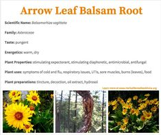 Arrowleaf balsamroot is a stimulating expectorant, stimulating diaphoretic, and an antimicrobial suitable for sore throats.   I've received the best results when using it as a simple for productive coughs that last beyond other symptoms of the original cold or flu.
