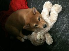 Pudge loves his bear!