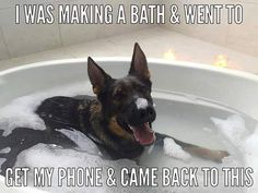 "Funny German Shepherds Embedded image permalink - ""This is great! I wish Gus liked taking a bath this much. Funny Dog Memes, Funny Animal Memes, Cute Funny Animals, Funny Animal Pictures, Cute Baby Animals, Funny Dogs, Animals And Pets, Dog Humor, Memes Humor"