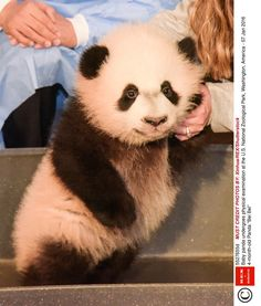 Bei Bei The Baby Panda Waved At A Camera And It Will Make You So Happy