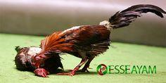 Kali ini kami sebagai salah satu agen judi sabung ayam online akan membahas tentang Beberapa cara mengasah mental ayam aduan. Game Birds, Bangkok, Rooster, Bali, Animals, Live, Animaux, Animales, Roosters