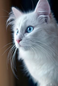 Gorgeous White Norwegian Forest cat