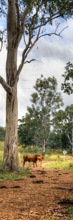 Cows in Australian landscape