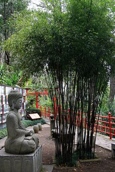 Giant Black Bamboo Phyllostachys nigra Great for by HirtsGardens