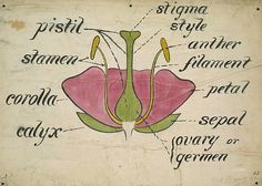 Christopher Dresser Botanical Drawing 1854-56
