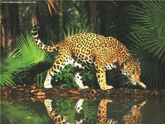 jungle+lepords+habitats   In contrast, the leopard's rosettes are smaller and more densely ...