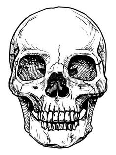 skull drawing: Vector black and white illustration of human skull with a lower…