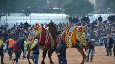 Biga ilçemizde düzenlenen deve güreşleri büyük ilgi gördü.