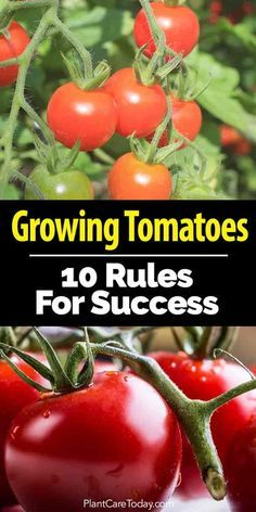 "When planting tomato plants do you follow any ""rules""? Here Are 10 smart tips and techniques successful tomato gardeners follow [LEARN MORE]"