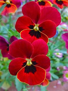 """Newest Free of Charge red Pansies Concepts Pansies are definitely the colorful flowers with """"faces."""" Any cool-weather preferred, pansies are fantas Exotic Flowers, Amazing Flowers, My Flower, Pretty Flowers, Red Flowers, Colorful Flowers, Flower Power, Bday Flowers, Ranunculus Flowers"""