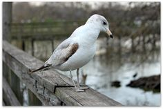The Lonely Gull by SalemCat.deviantart.com  Taken at Lafreniere Park in Metairie Louisiana  2-6-2012