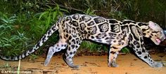 NEW Cat Species Found in Sabah, MALAYSIA.  The clouded leopard is Borneo's largest predator, has the longest canine teeth relative to its size of any cat, and can grow as large as a small panther.