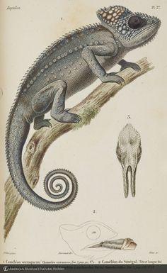 http://lbry-web-002.amnh.org/san/naturalhistories/b10464177_4.jpg