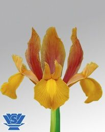 Autumn Princess ® (IRIS) Orange 50-60cm
