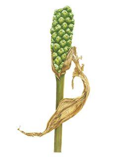 #Doodlewash - Watercolor Illustration by Julia Trickey - arum maculatum fruit - #WorldWatercolorGroup