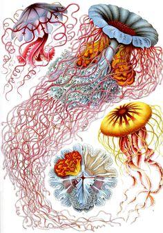 Jellyfish! Yes, I need more of these. Thank You! Kunstformen der Natur, Ernst Häckel #sealife