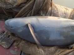 A Yangtze finless porpoise is rescued on Dec. 31, 2013