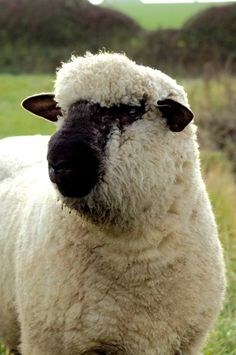 Oxford sheep (also known as Oxford Down) is an English breed developed in the 1830s by crossing the Cotswold with a forerunner of the Hampshire, and using the resulting cross-breeds to form the basis of the present-day breed. This breed is primarily raised for meat.