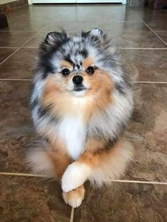 Dogs Dogs Wallpaper Dogs and Puppies Dogs Cute Dogs Funny Dogs Cutest Dogs Stuff Dogs Breeds Dogs Photography Cute Little Animals, Cute Funny Animals, Funny Dogs, Funny Puppies, Pomeranian Facts, Cute Pomeranian, Blue Merle Pomeranian, Pomeranian Haircut, Cute Baby Dogs