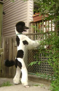 Standard parti poodle, Edgar. Glad to know my poodle isn't the only dog that stands at the fence.