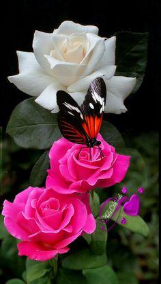 Beautiful Butterflies, Beautiful Flowers, Rose Flower Pictures, Good Morning Roses, Beauté Blonde, Rose Art, Pretty Wallpapers, Belleza Natural, Creative Art