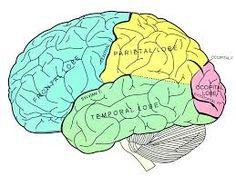 Bildergebnis für frontal lobe