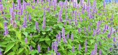 Picture of Agastache Blue Fortune Blue Fortune Anise Hyssop in a herbaceous border stock photo, images and stock photography. Herbaceous Border, Herbaceous Perennials, Lavender Flowers, Purple Flowers, Real Flowers, Store Bateau, Purple Plants, Border Plants, Gardens
