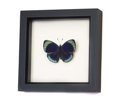 Framed Butterfly Charles Darwin Shadowbox Display by BugUnderGlass
