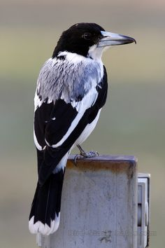 Grey Butcherbird, (Silver-backed Butcherbird), Cracticus torquatus, Australia, by Jonathan Rossouw