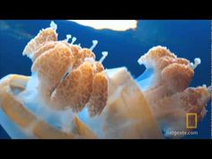 Night of the Moonjellies--Jellyfish Lake - YouTube. Also watch: http://video.nationalgeographic.com/video/animals/invertebrates-animals/other-invertebrates/jellyfish/