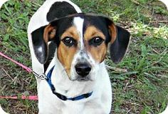 Minneapolis, MN - Beagle/Dachshund Mix. Meet *Remey -Foster Needed, a dog for adoption. http://www.adoptapet.com/pet/11404350-minneapolis-minnesota-beagle-mix