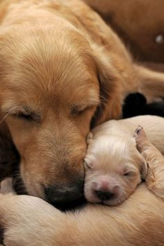 Dogs And Puppies Golden Retriever Mom 15 Ideas Animals And Pets, Baby Animals, Funny Animals, Cute Animals, Wild Animals, Perros Golden Retriever, Golden Retrievers, Cute Puppies, Cute Dogs