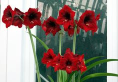 amaryllis Glass Vase, Flowers, Plants, Home Decor, Decoration Home, Room Decor, Plant, Royal Icing Flowers, Home Interior Design