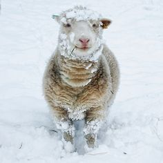 """Sheep In The Snow"", winter, animals, wool"