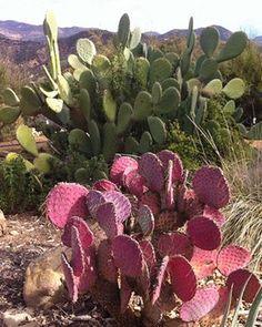 Pink cactus in Ojai