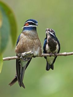 Whiskered Tree-swift and baby | It is found in Brunei, Indonesia, Malaysia, Myanmar, the Philippines, Singapore, and Thailand.