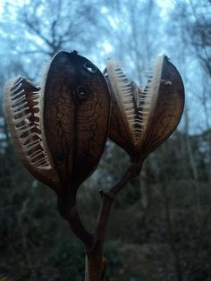 hqcreations: sixpenceee: The creepy looking plants are actually the seed pods of the Giant Himalayan Lily. nah-uhn. this is a big freakin stalk of NOPeS.