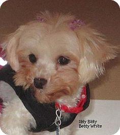 West Harrison, NY - Maltese. Meet Betty White (DE) a Dog for Adoption w/ SCMR-NY scmr1@yahoo.com