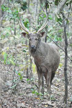 Sambar male #deer #photography #wildlife #nature