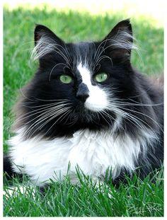 Black & white cat ~ Envy by Ziggy-Pasta.deviantart.com