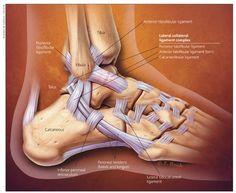 Anatomy Image Organs: lateral ankle anatomy pain tendons injury posterior knee foot wrist Lateral Ankle Pain, Tendonitis In Ankle, Lateral Foot Anatomy Ankle Anatomy, Foot Anatomy, High Ankle Sprain, Ankle Pain, Ankle Sprain Recovery, Physical Therapy School, Physical Therapist, Ankle Ligaments, Student Nurse